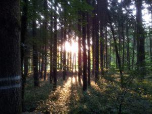 Licht schimmert durch die hohen Tannen im Wald