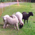 weiße Schafe und ein schwarzes